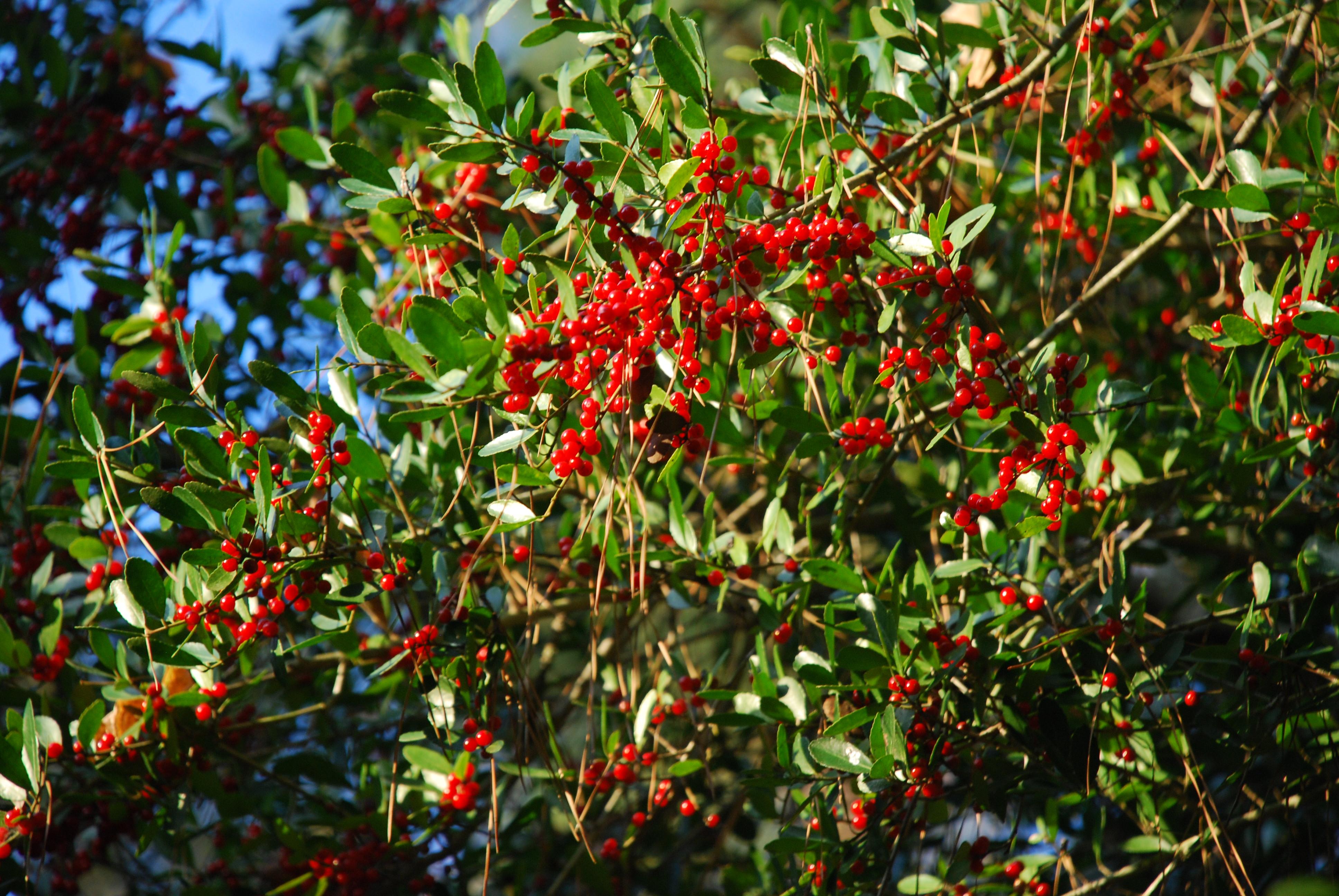 Sweet gum tree automatic gardening real gluten free food for Garden design under gum trees