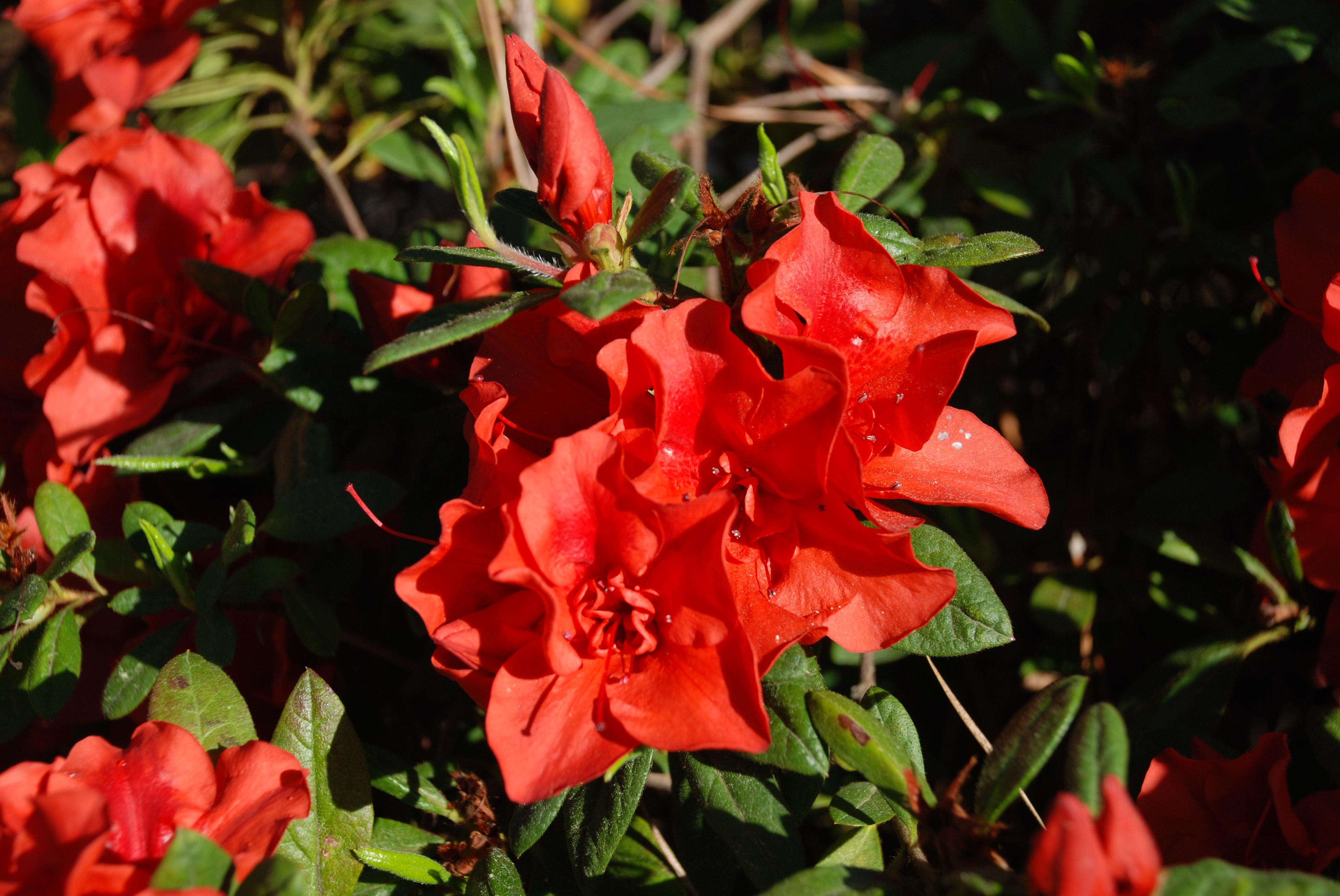 azaleas shrubs how to grow