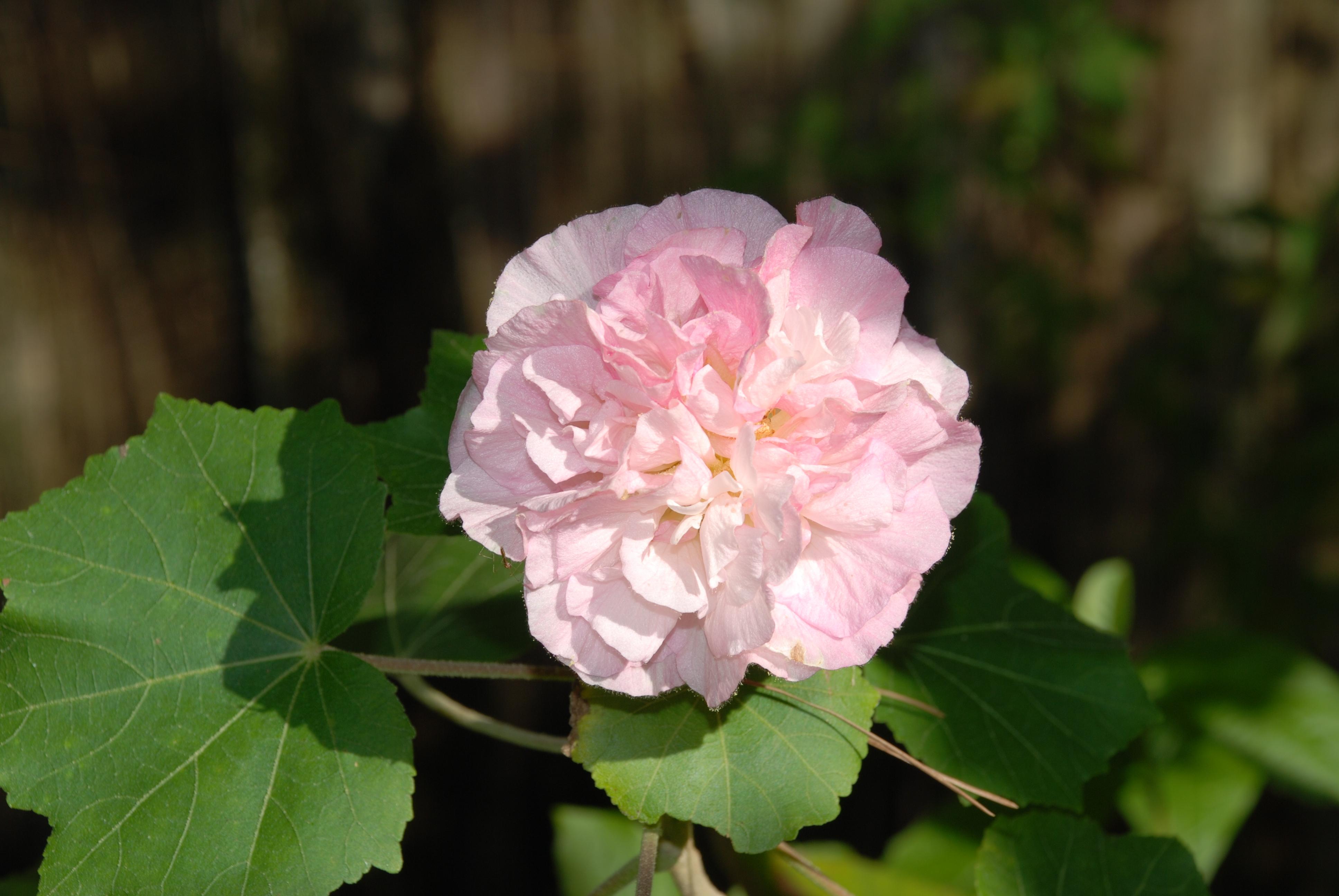 Image result for Hibiscus mutabilis