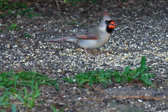 Smart Girl, my favorite cardinal from 2012.
