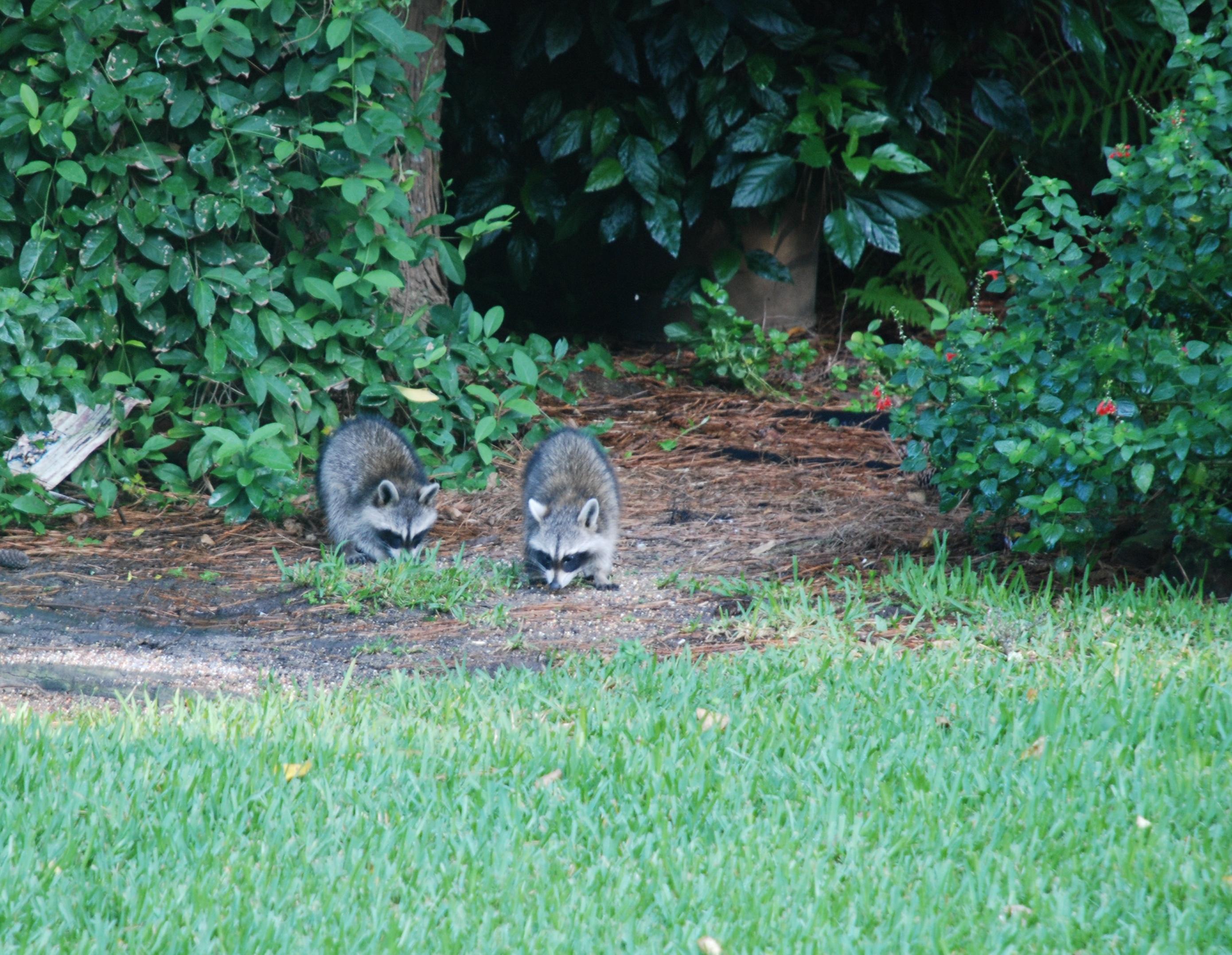 raccoons automatic gardening u0026 real gluten free food
