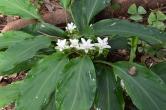 "Curcuma parviflora ""White Angel"""